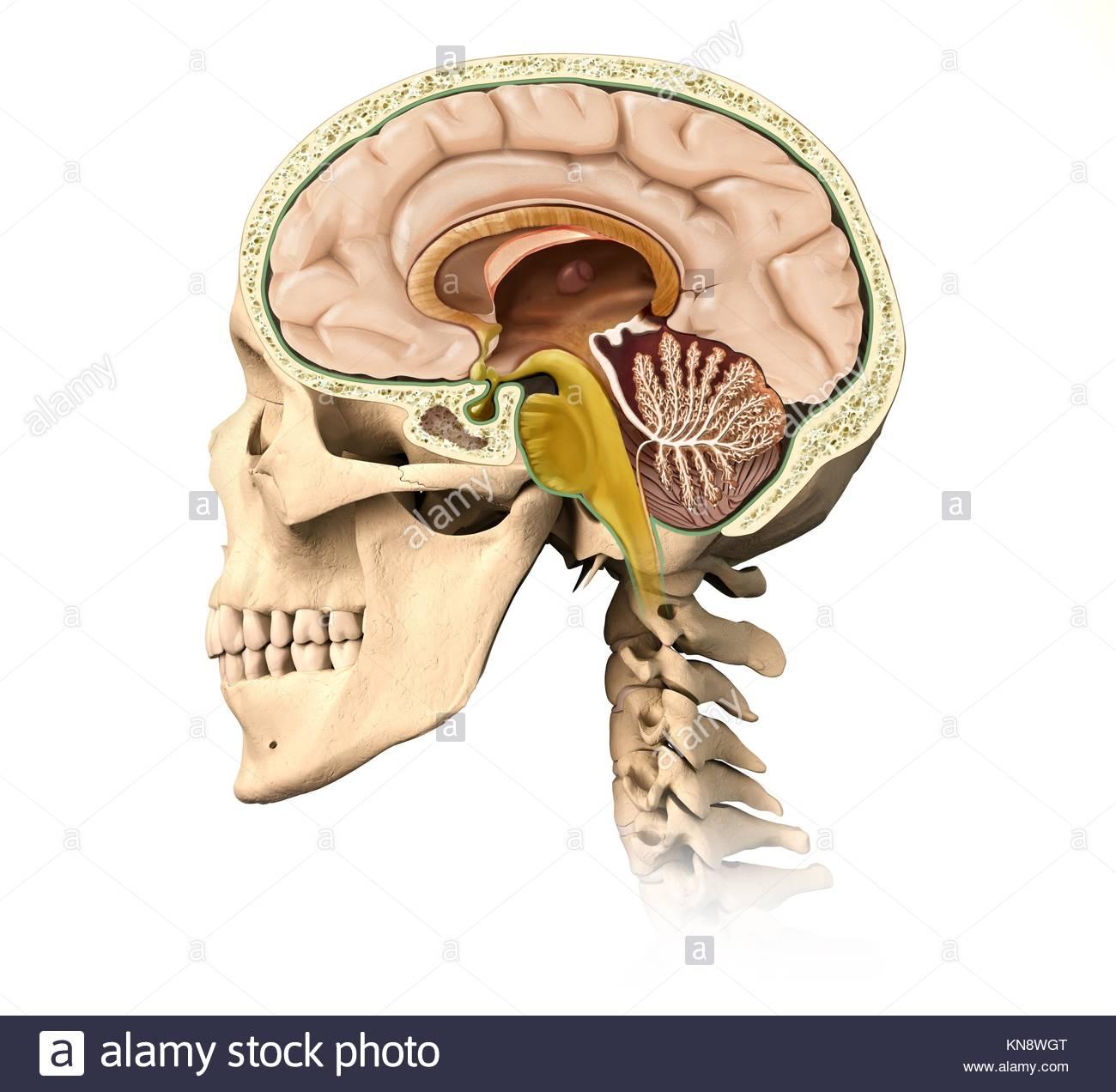 Sehr detaillierte und wissenschaftlich korrekte menschliche Gehirn ...