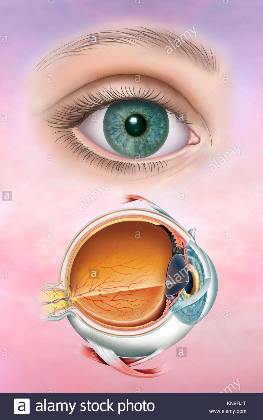 Abbildung: durch das menschliche Auge und die ersten, die Anatomie ...