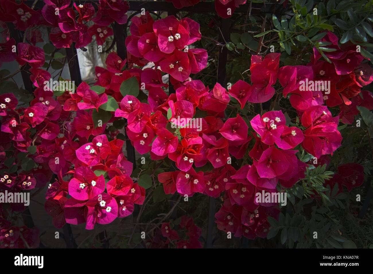 rote bougainvillea blumen closeup in palma de mallorca im juni stockfoto bild 168020827 alamy. Black Bedroom Furniture Sets. Home Design Ideas