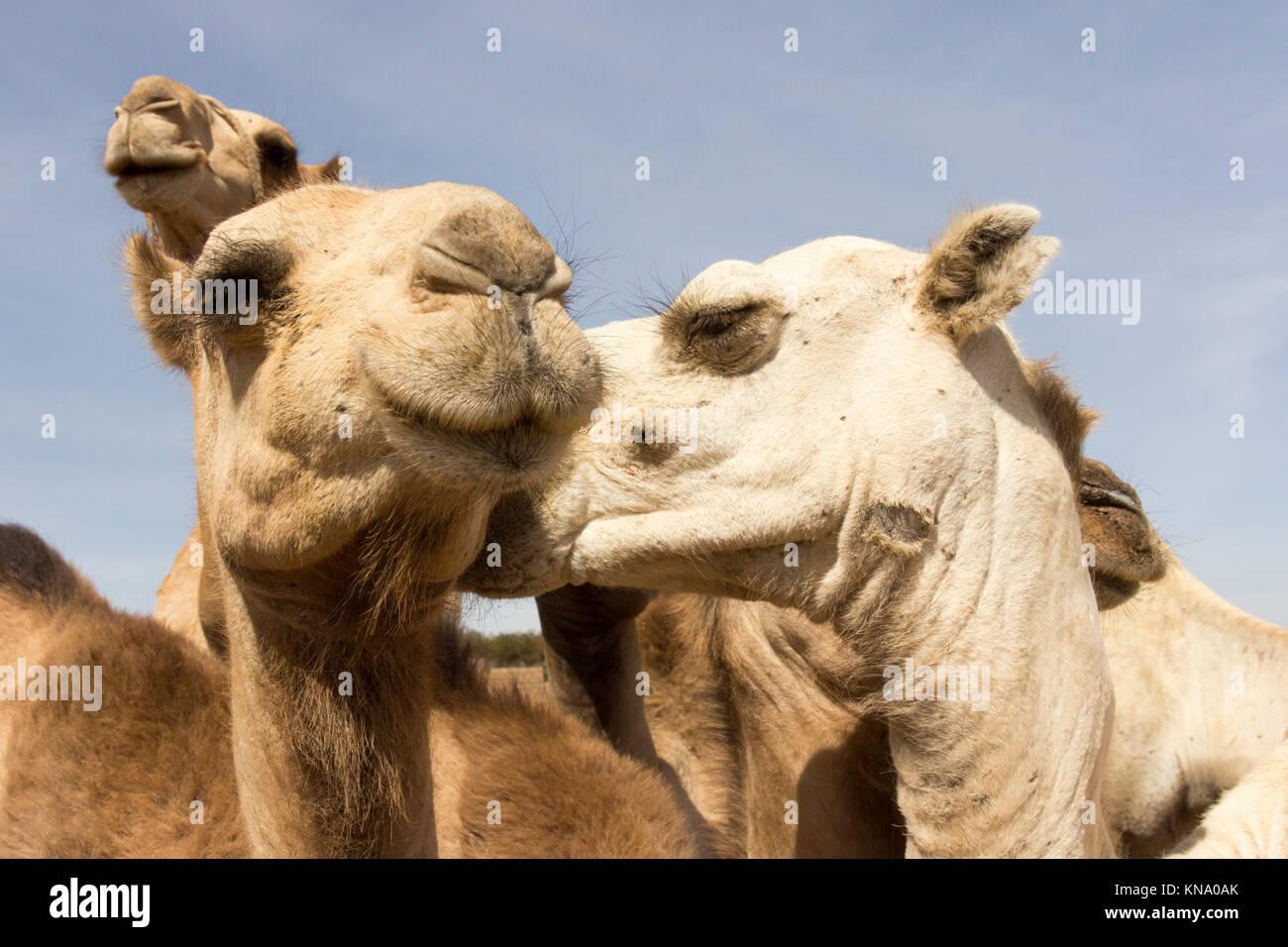 Lustig, Kamele, Kamel küssen Stockbild