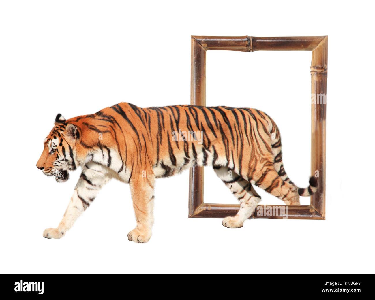 Tiger aus einem Bambus Rahmen (3D-Effekt). Auf weissem Hintergrund ...