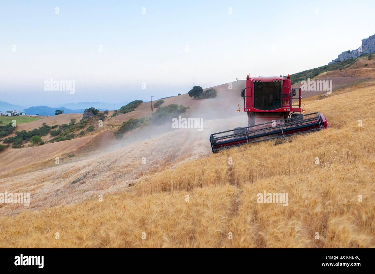 Feldhäcksler Sammeln von Weizen im Berggebiet von Antequera, Spanien. Mähdrescher Maschine Arbeiten an Stockbild
