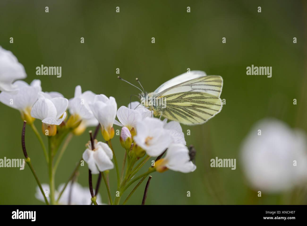 Grün Geaderten weiß Schmetterling; Pieris napi Single auf Blume Lancashire, Großbritannien Stockbild
