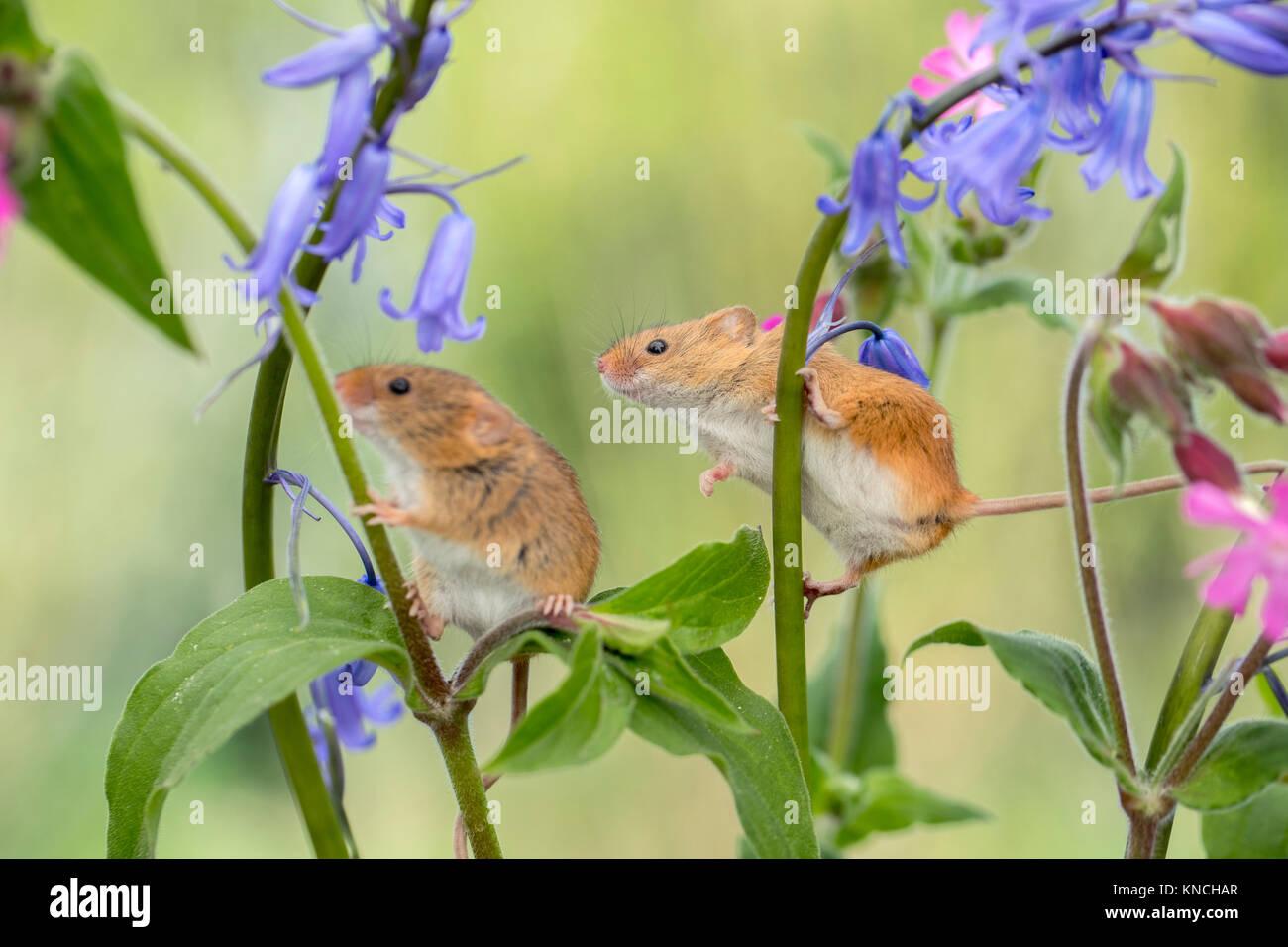 Ernte Maus; Micromys minutus Zwei auf Blumen UK Stockfoto, Bild ...