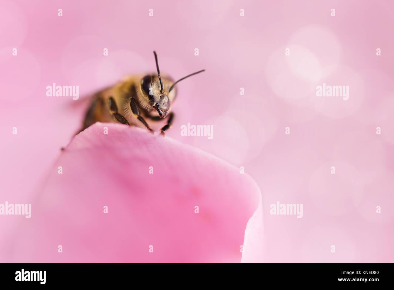 Honey Bee Pollen sammeln von Blumen. Makro Fotografie. Natur Konzept. Stockbild