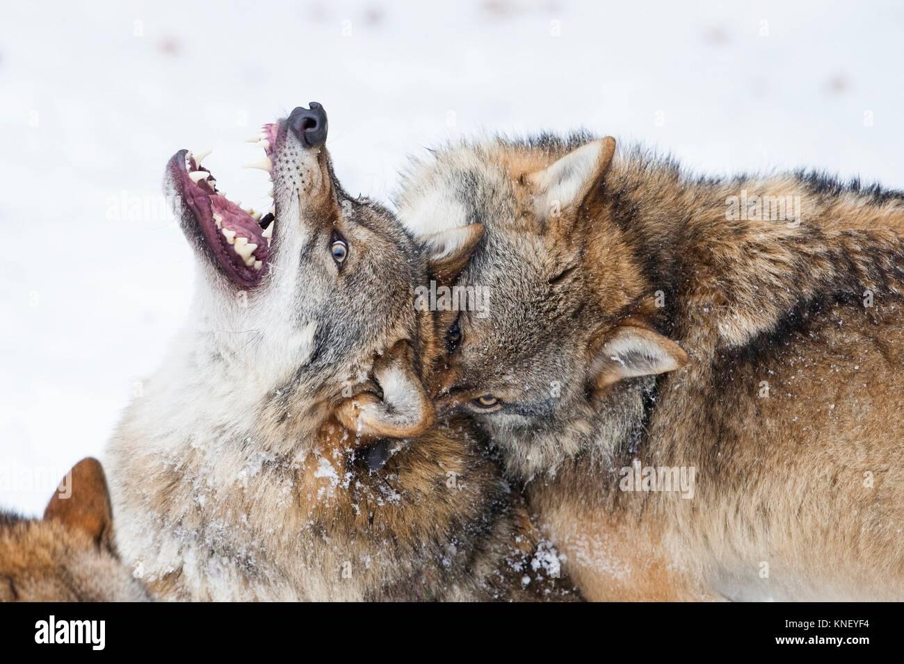 Zwei Wölfe (Canis lupus) kämpfen, Nationalpark Bayerischer Wald, Deutschland. Stockbild