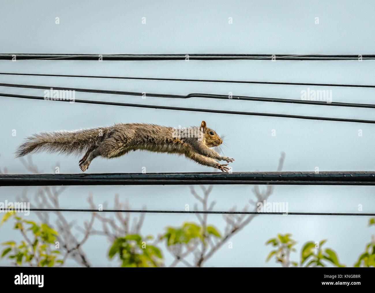 Squirrel Running Stockfotos & Squirrel Running Bilder - Alamy