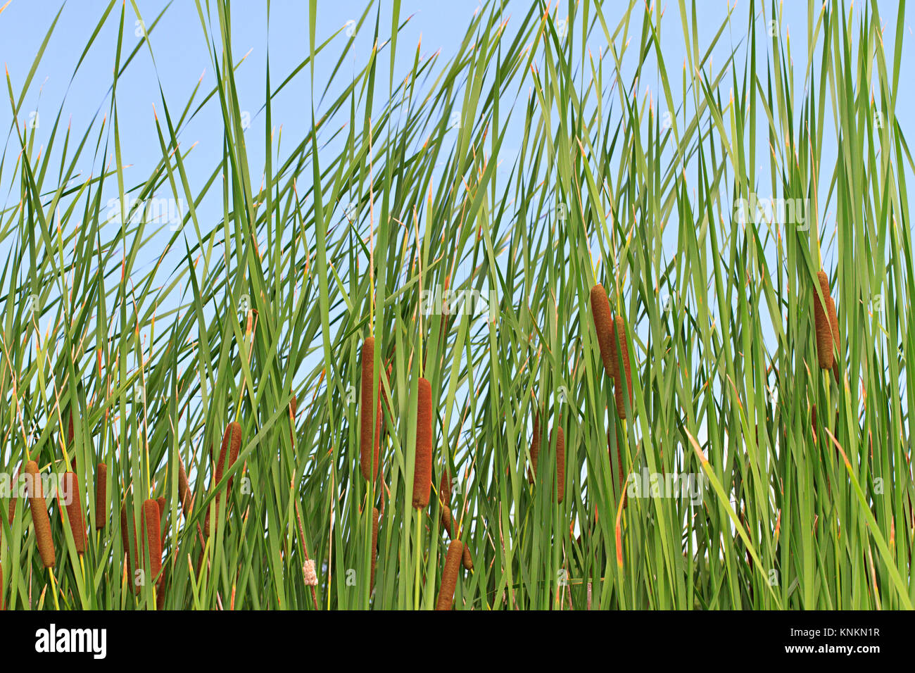 tall reeds stockfotos tall reeds bilder alamy. Black Bedroom Furniture Sets. Home Design Ideas