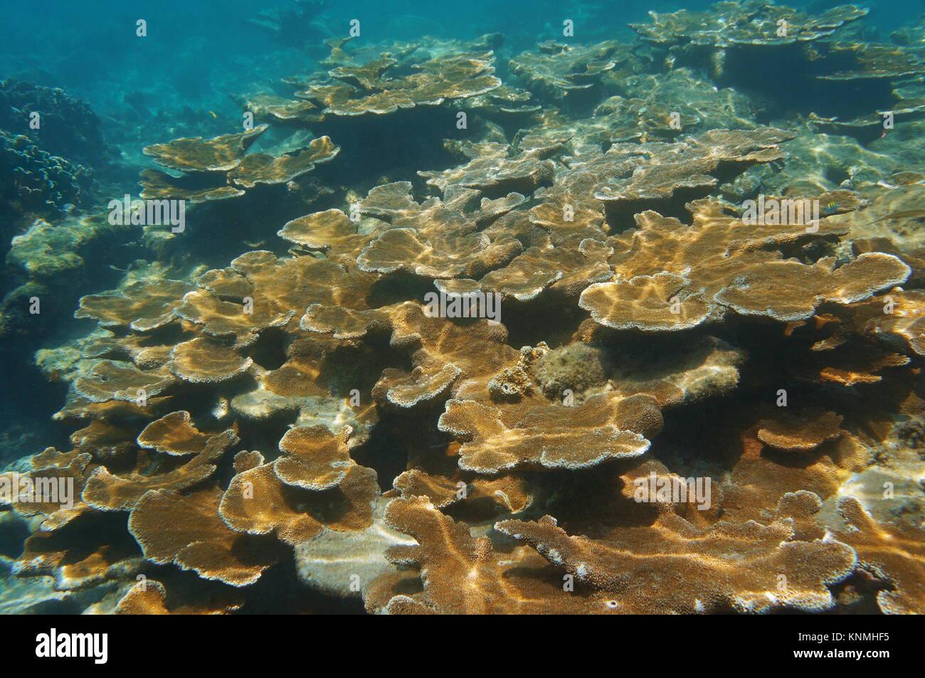 Unterwasser Riff mit Elkhorn Korallen, Key Largo, Florida, USA Stockbild