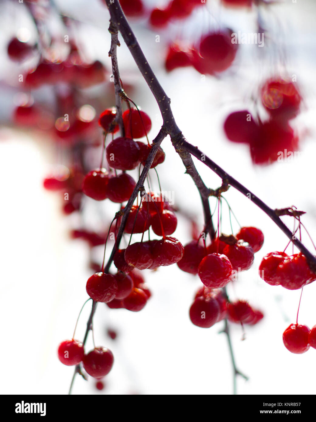 winter berries winterberry plant stockfotos winter berries winterberry plant bilder alamy. Black Bedroom Furniture Sets. Home Design Ideas