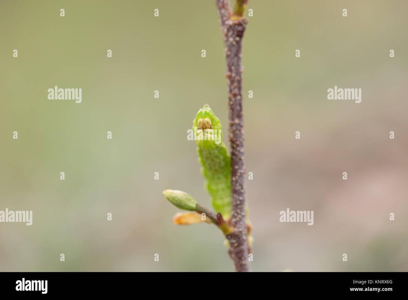 Große Emerald geometer Motte Larve Stockbild