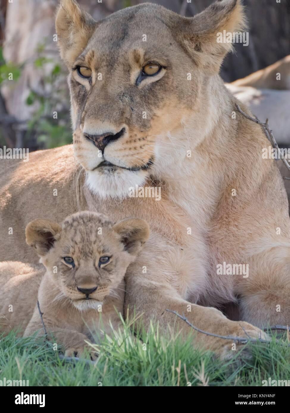Botswana. Löwin und Baby. Stockbild