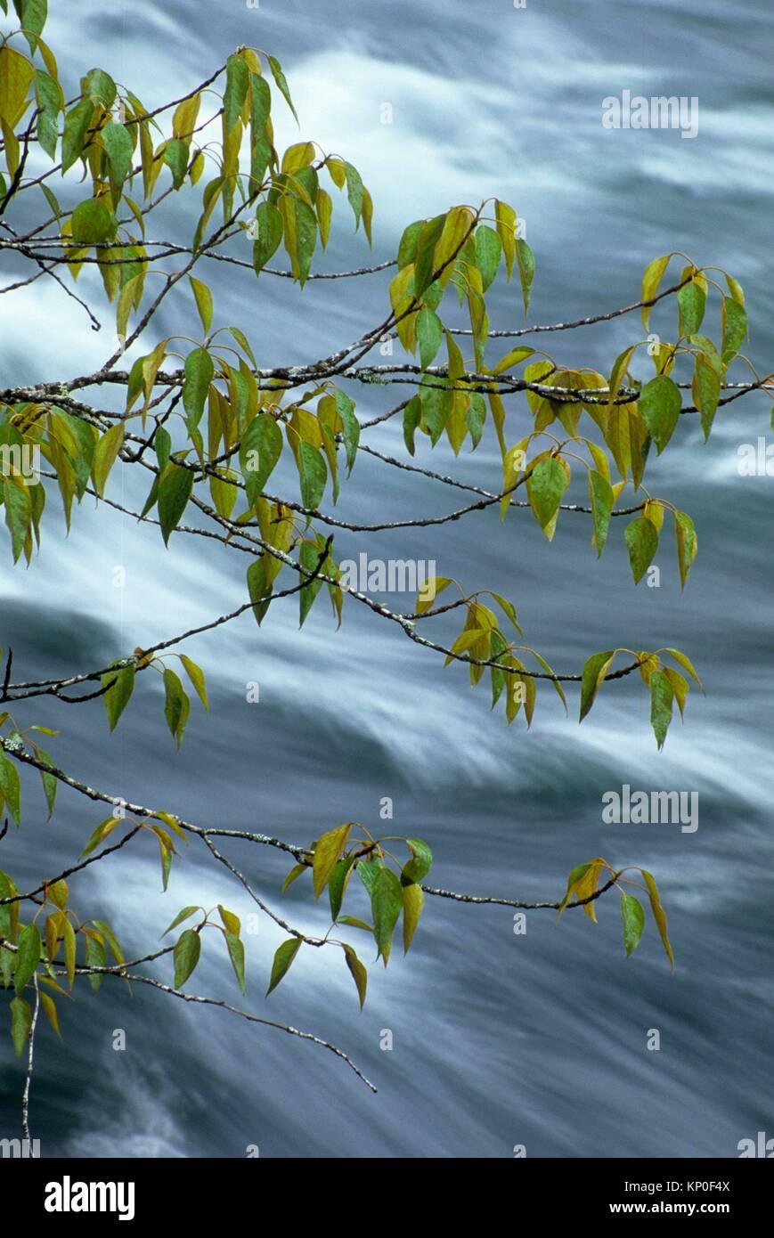 North Santiam River mit cottonwood Zweig, Fisherman's Bend Erholungsgebiet, Salem Bezirk Büro des Land Stockbild