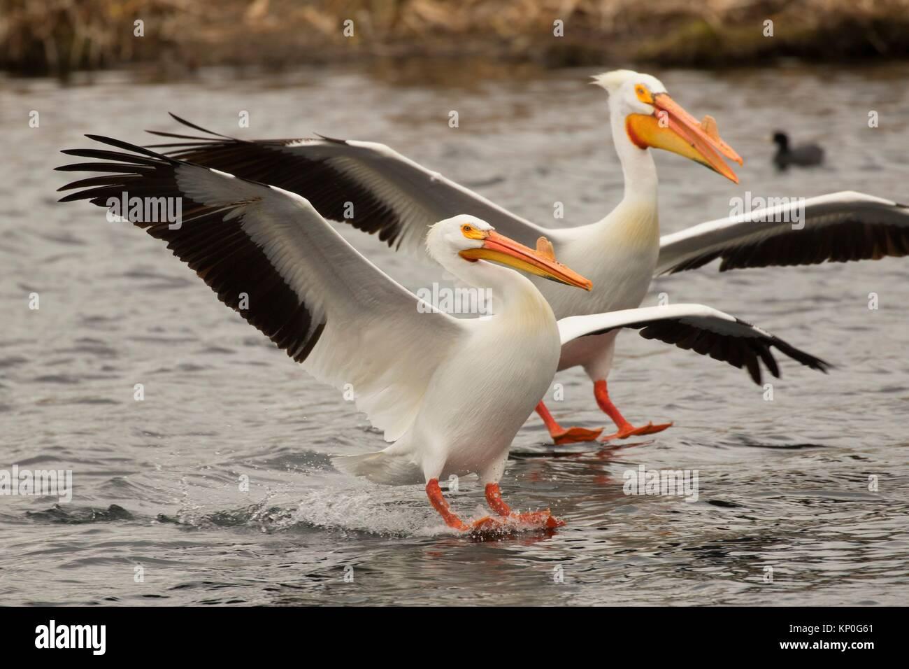 American White Pelican (Pelecanus erythrorhynchos), Rocky Ford Creek Zugang zu Wasser, Washington. Stockbild