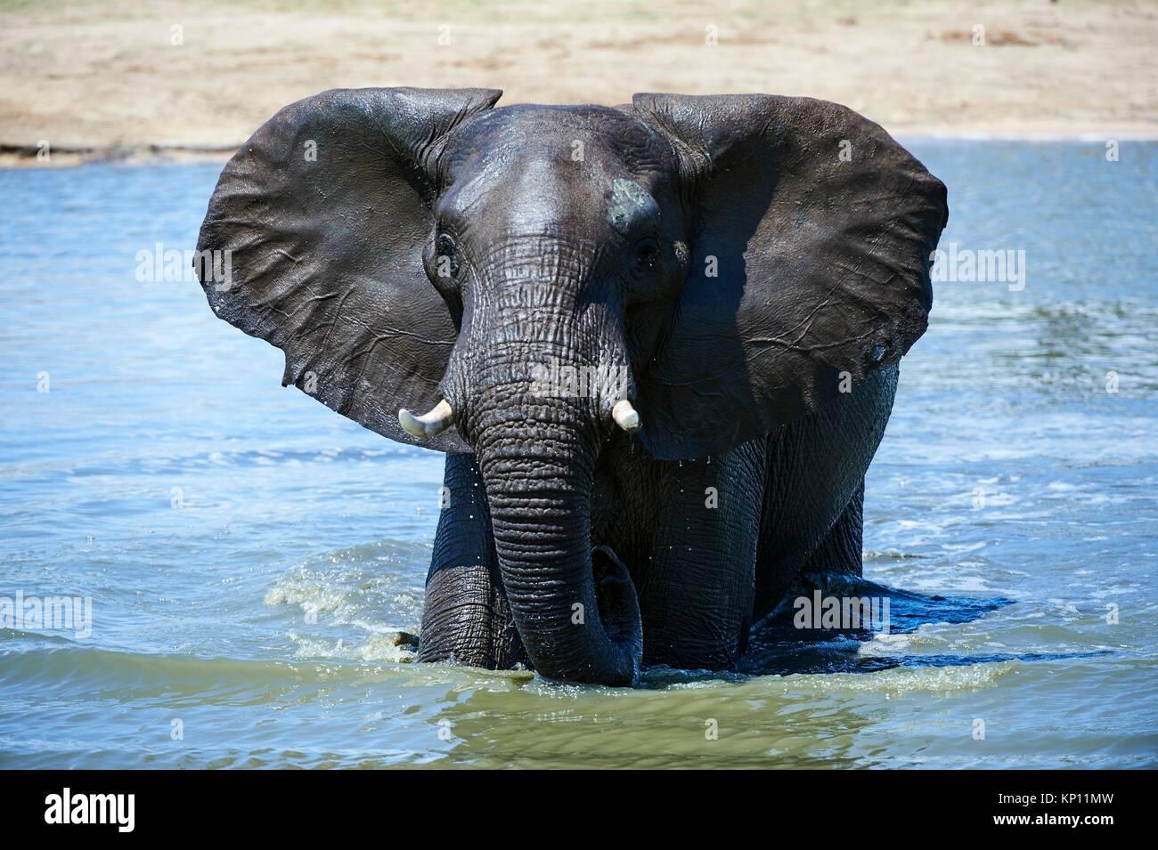Afrikanischer Elefant (Loxodonta africana) trinken und baden an einem watehole. Hwange National Park, Zimbabwe. Stockbild
