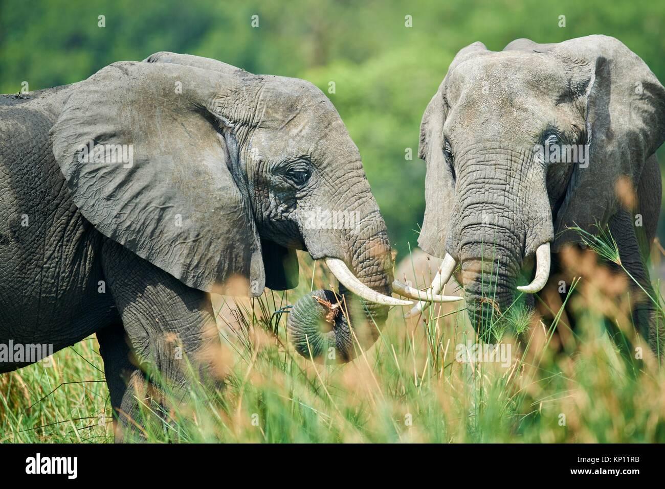 Afrikanischer Elefant (Loxodonta africana) Ernährung auf die Vegetation. Murchisson Falls Nationalpark, Uganda. Stockbild