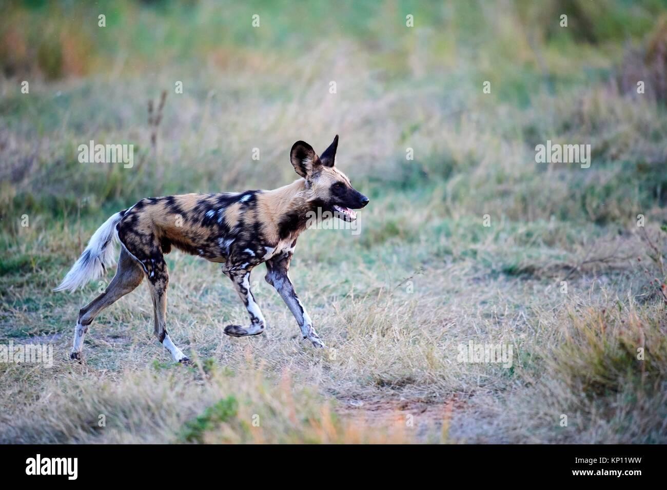 Afrikanischer Wildhund (Lycaon pictus) jagen. Moremi National Park, Okavango Delta, Botswana, Südafrika. Stockbild