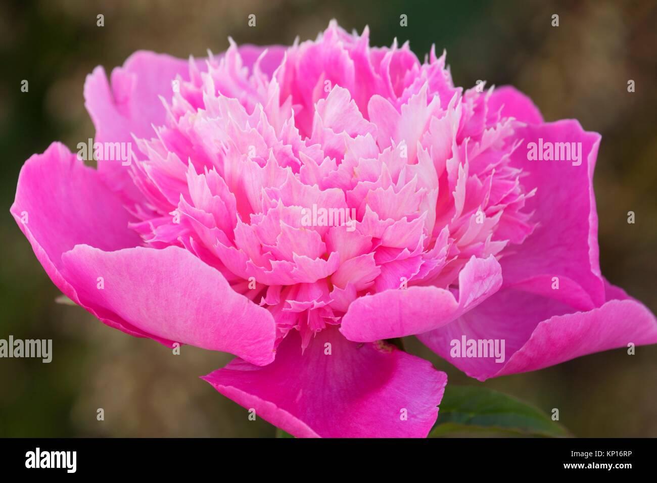 Blumenstrauß perfekte Pfingstrose, Adelman Päonien Garten, Brooks, Oregon. Stockbild