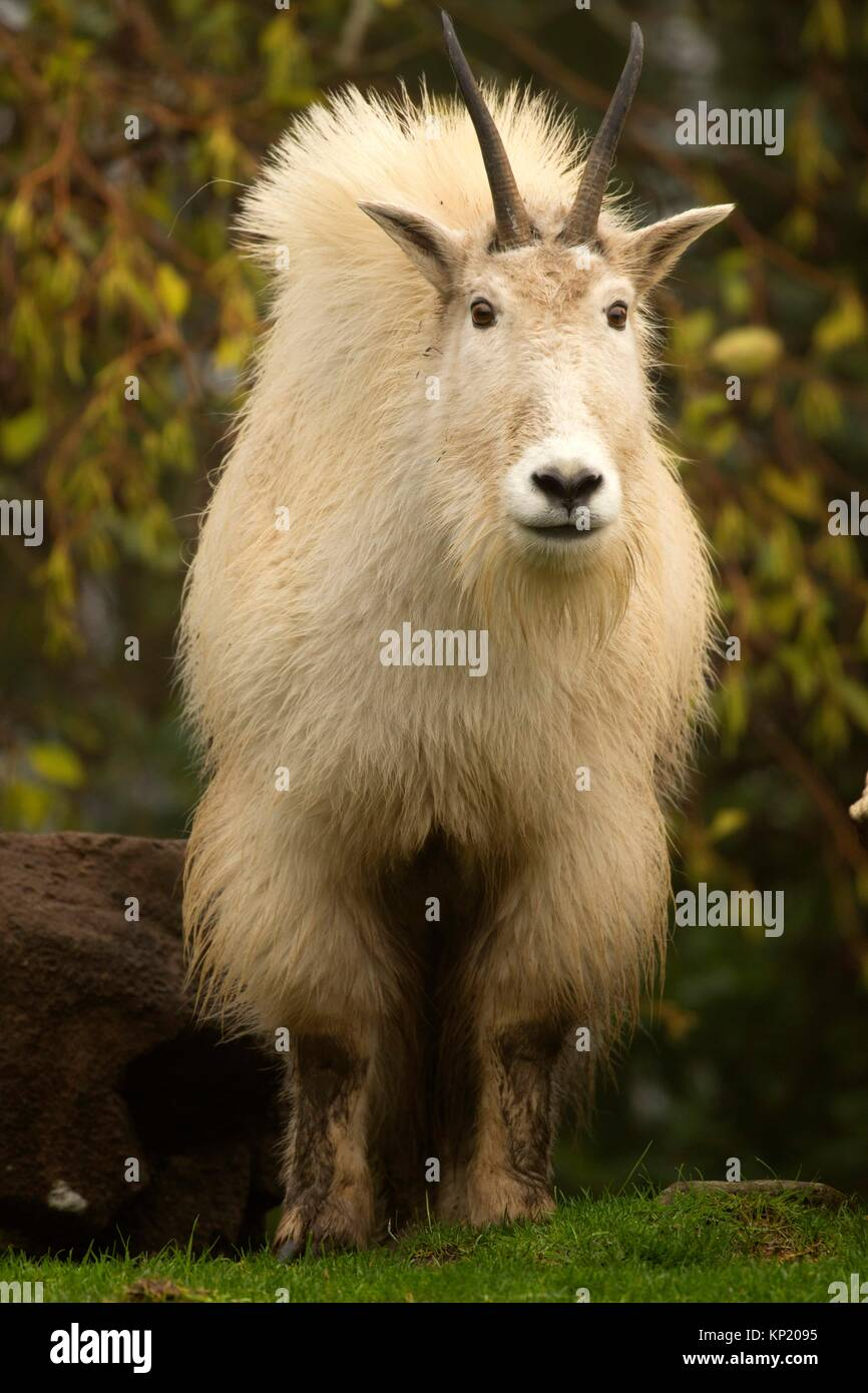 Bergziege (Oreamnos Americanus), Oregon Zoo, Washington Park, Portland, Oregon. Stockfoto
