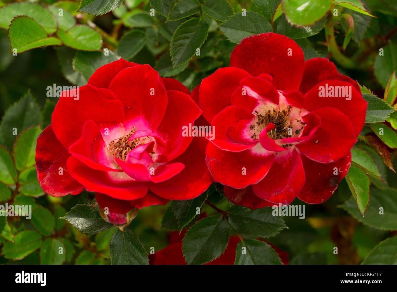 Wundervolle Nachrichten Rose, Erbstück Rosen, St. Paul, Minnesota. Stockbild