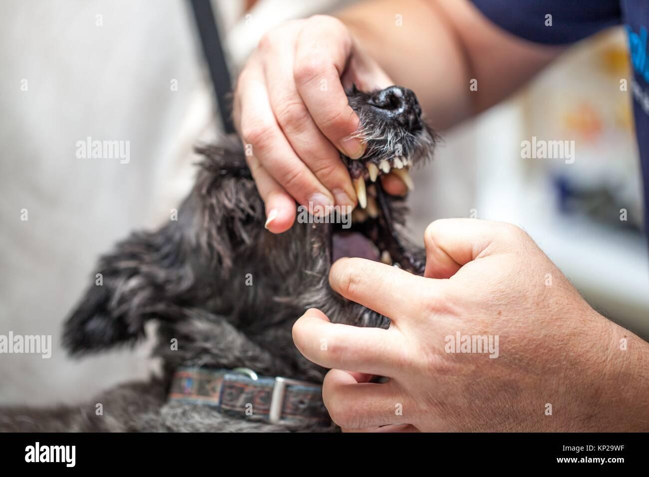 Hund beim Tierarzt, die sich einer ärztlichen Kontrolle Stockbild