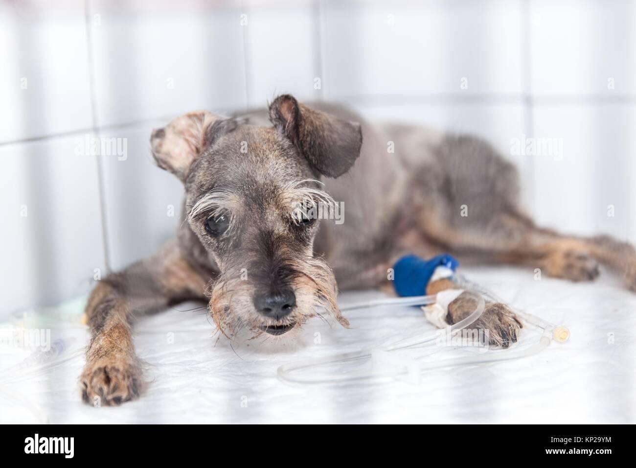 Hund beim Tierarzt, die sich einer medizinischen Behandlung Stockbild