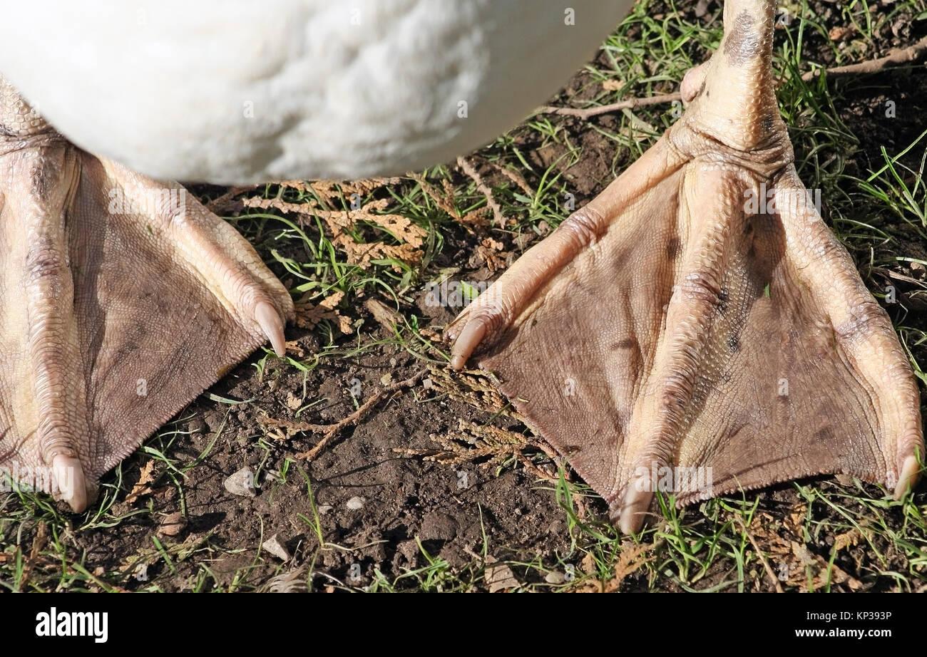 Schwimmhäuten eines Erwachsenen MUTE Swan Stockbild