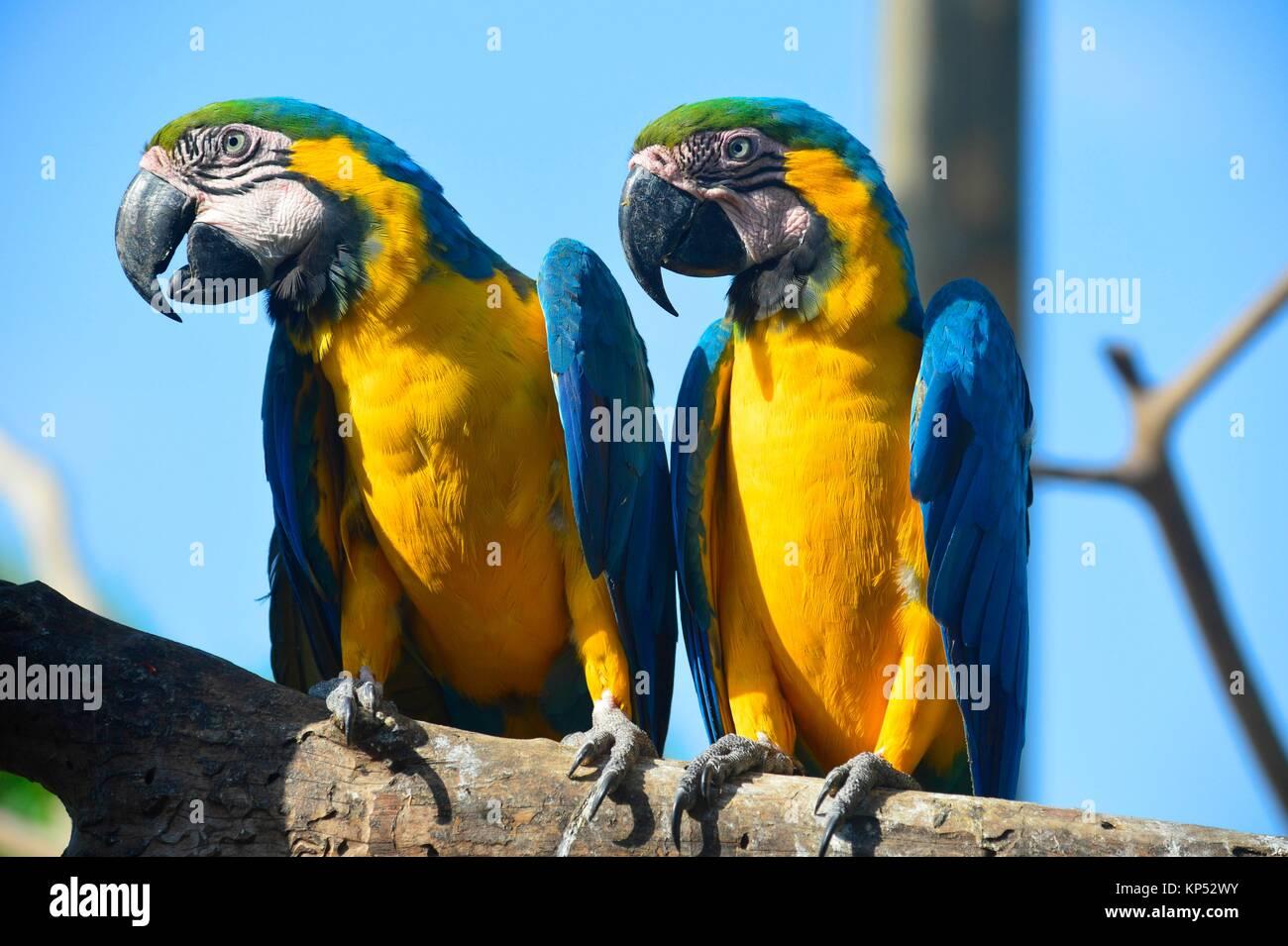 Papagei Ara, Aviario National de Colombia, Isla Baru, Kolumbien, Südamerika. Stockbild