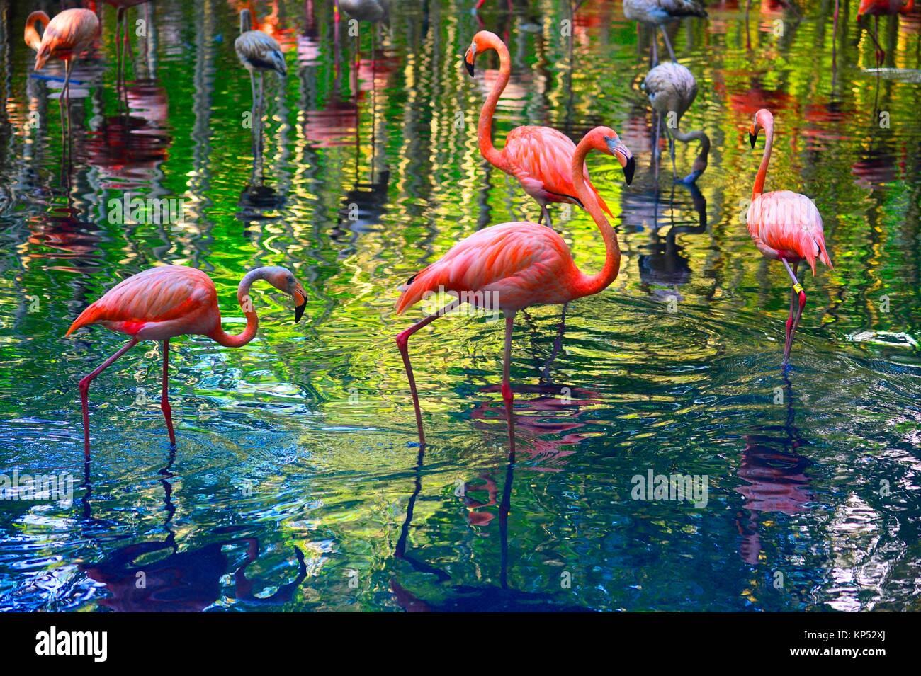 Amerikanische Flamingo, Aviario National de Colombia, Isla Baru, Kolumbien, Südamerika. Stockbild
