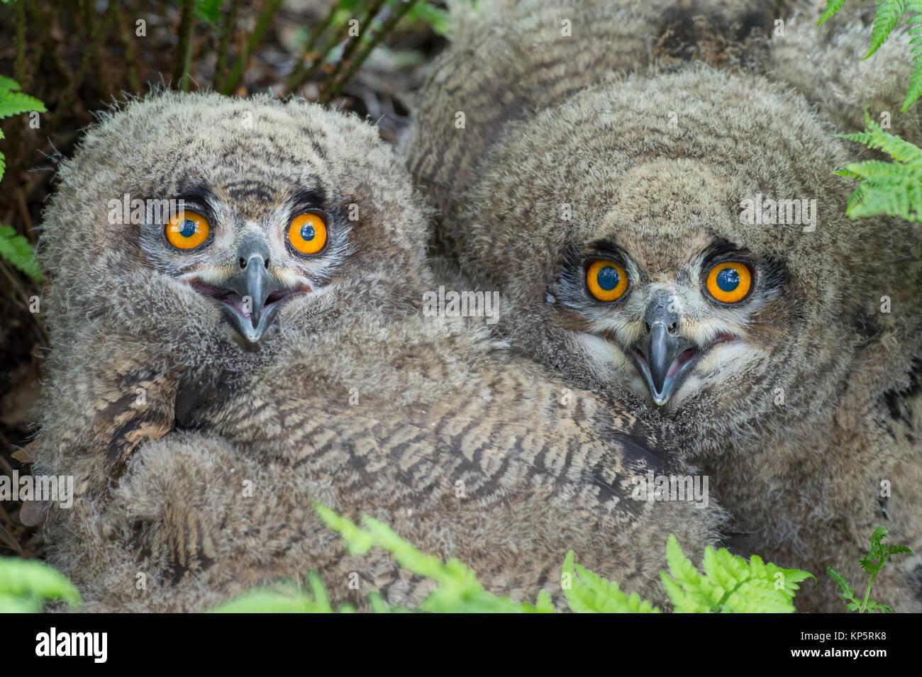 Uhu, Eurasian Eagle Owl, Bubo bubo -, Tiere, Vogel, Eulen, Eule, Eule, Eulen, Stringiformes, Voegel, vogel, vögel, Stockbild