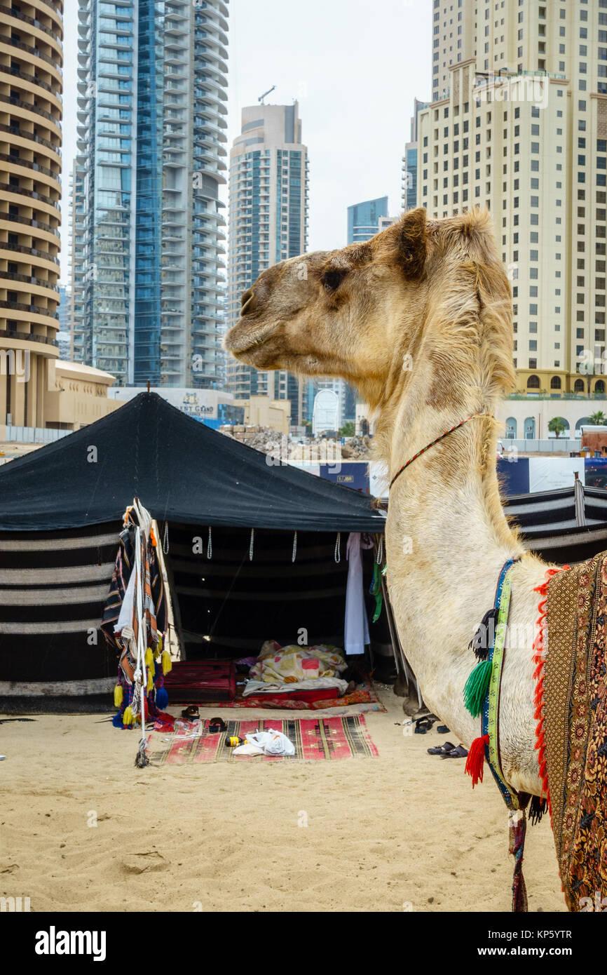 Kamel am Strand von Jumeirah Beach Residence in Dubai Stockbild