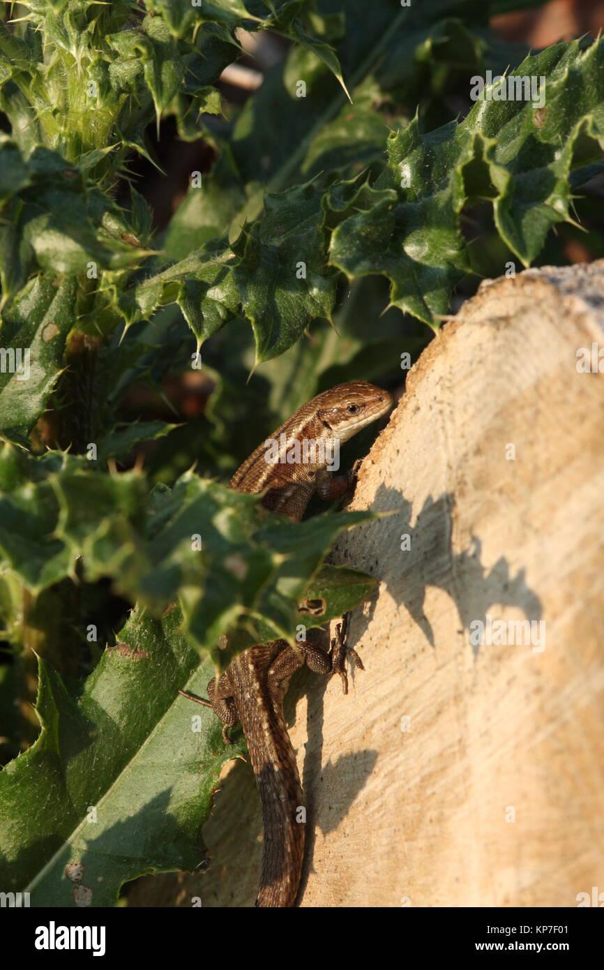 Gemeinsame Echse auf teilweise durch thristle Blatt bedeckt, Aalen in der Sonne Stockfoto