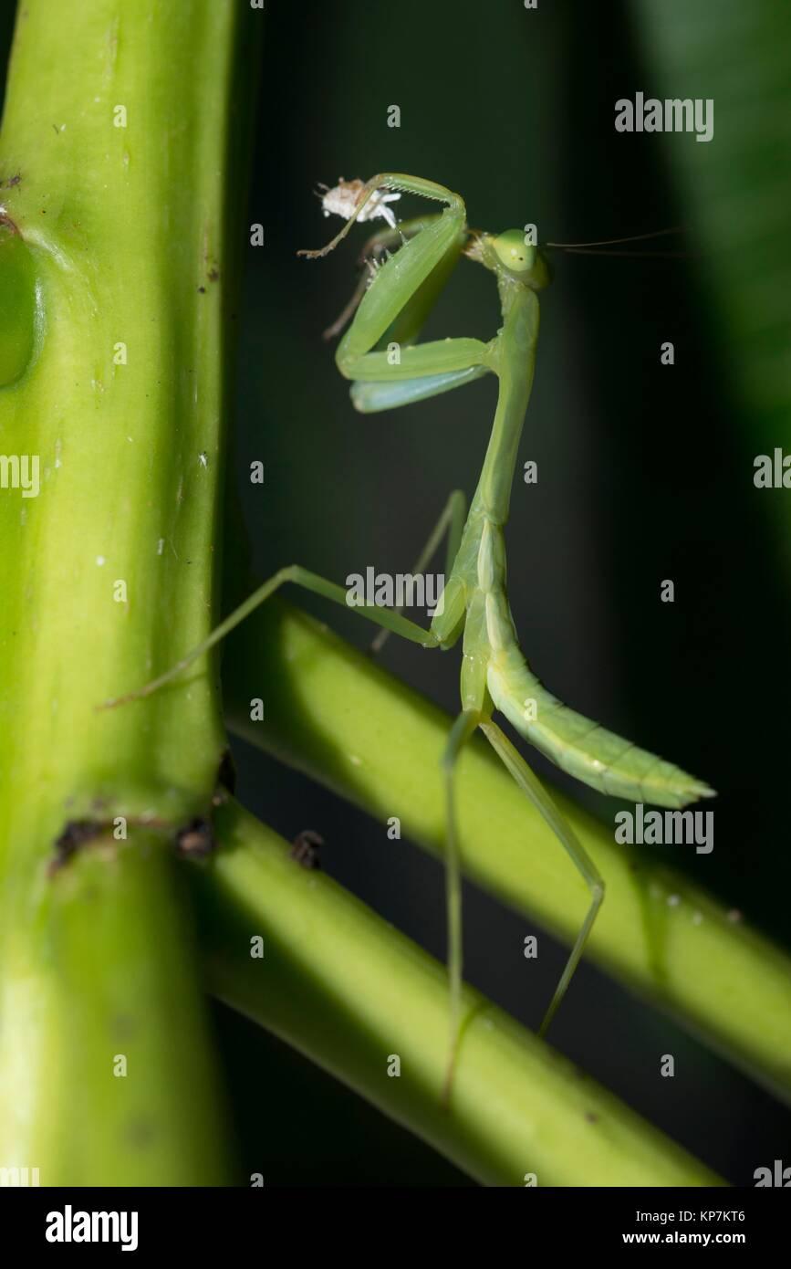 Gottesanbeterinnen (Mantodea) essen Mealybug (Hemiptera, Pseudococcidae Familie) auf Blatt, Klungkung, Bali, Indonesien. Stockbild