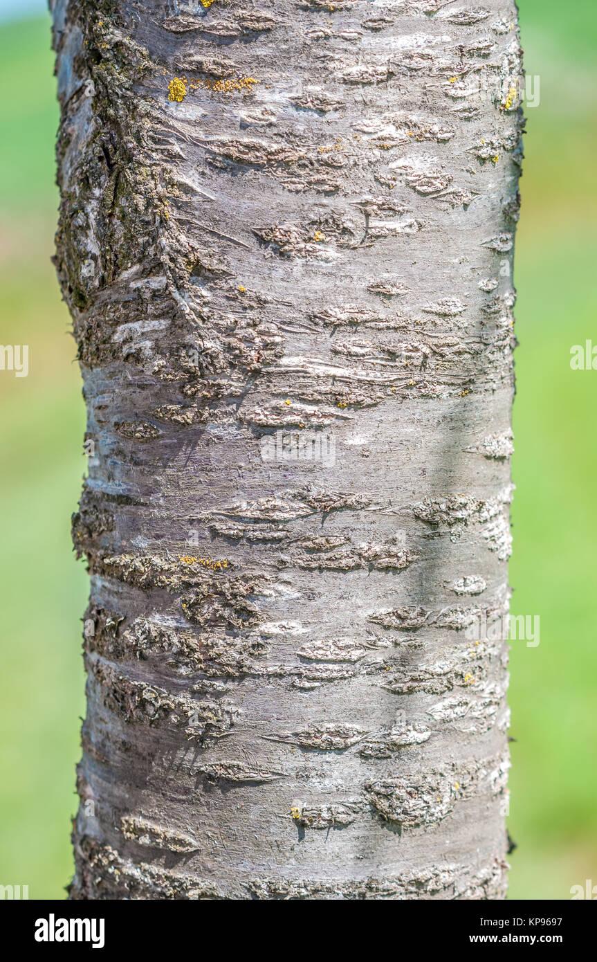 Rinde kirschbaum Kirschbaum