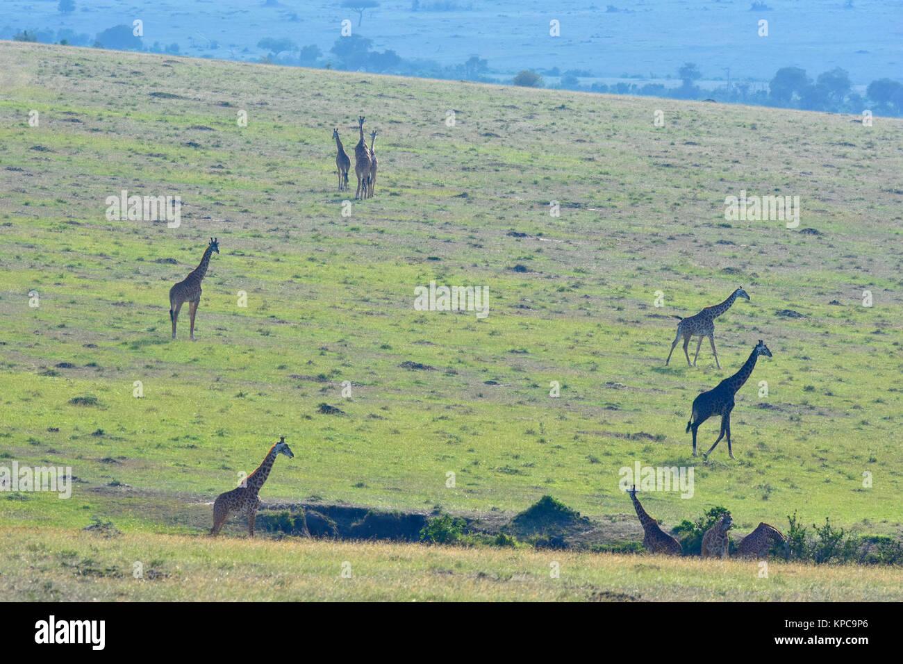 Kenia ist ein hervorragendes Reiseziel in Ostafrika. Berühmt für die freilebenden Tiere und wildwachsenden Stockbild