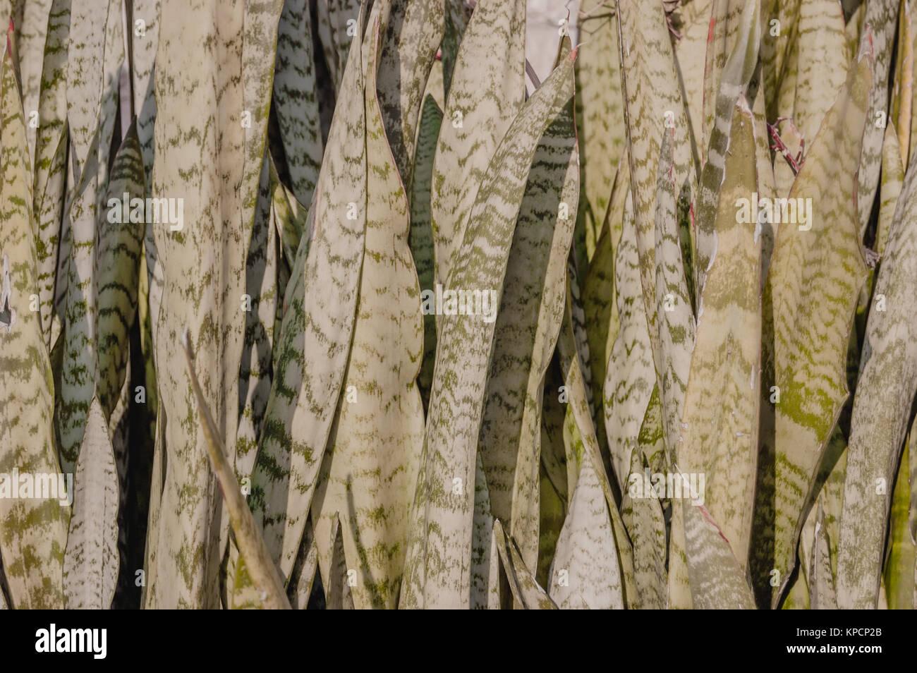 Sansevieria sansevieria stockfotos sansevieria sansevieria bilder alamy - Hanf zimmerpflanze ...