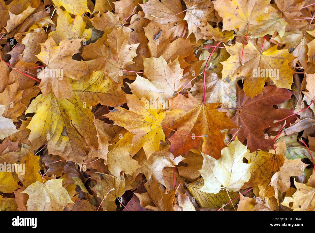 Verschiedene farbige Ahorn Blätter im Herbst Stockbild