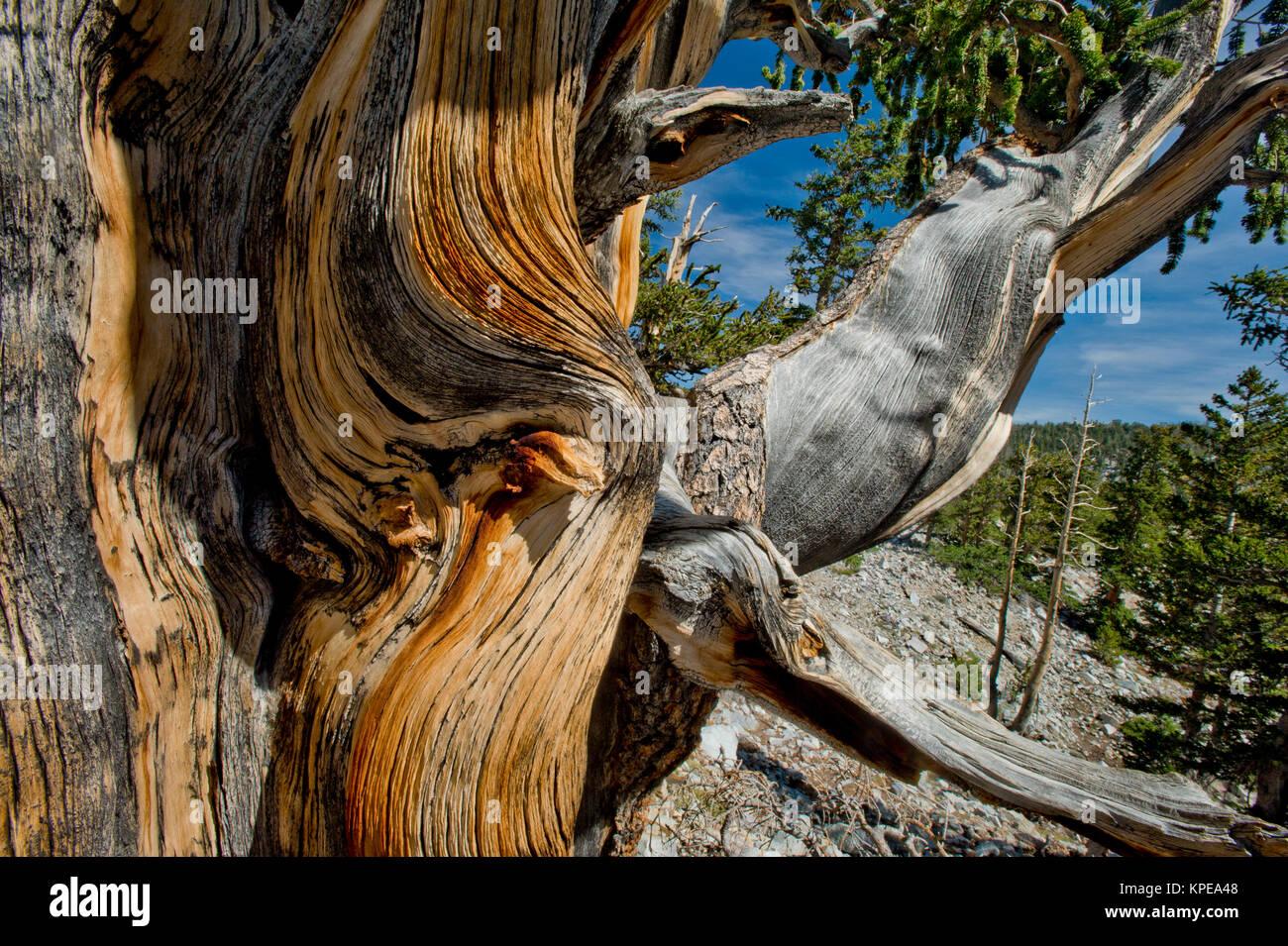 Bristlecone Pine (Pinus longaeva) im Great Basin National Park, Nevada. Älteste bekannte nicht klonalen Organismus Stockbild