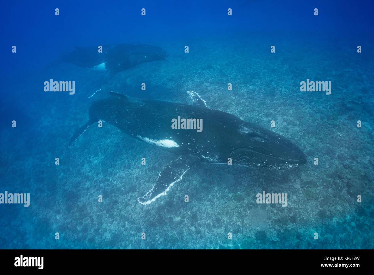 Buckelwale, Megaptera novaeangliae, im konkurrierenden Gruppe oder Hitze laufen, Schwimmen über Coral Reef, Stockbild