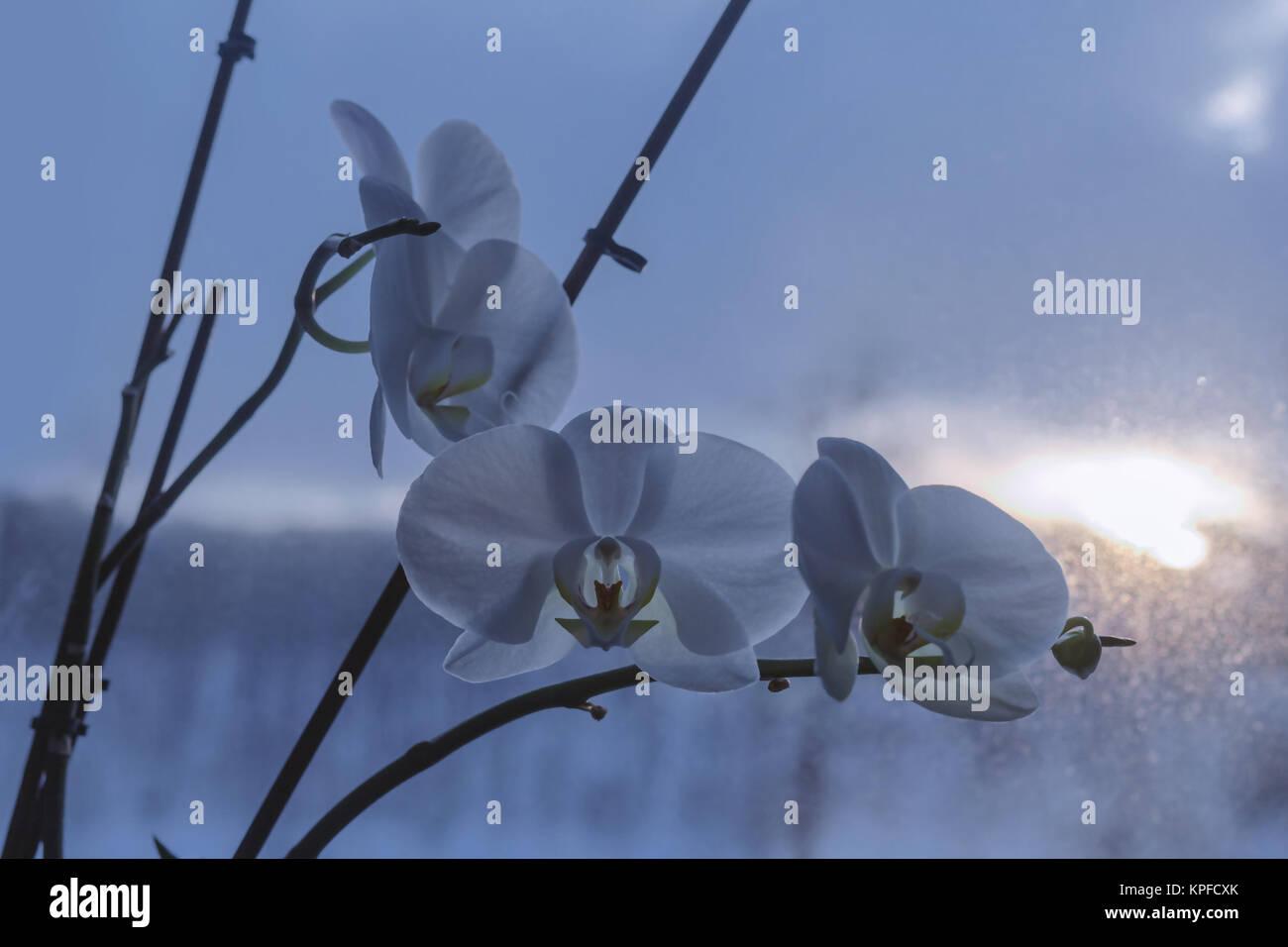 Blühende Schönheit Orchideen im tiefen Winter Dunkelheit Stockbild