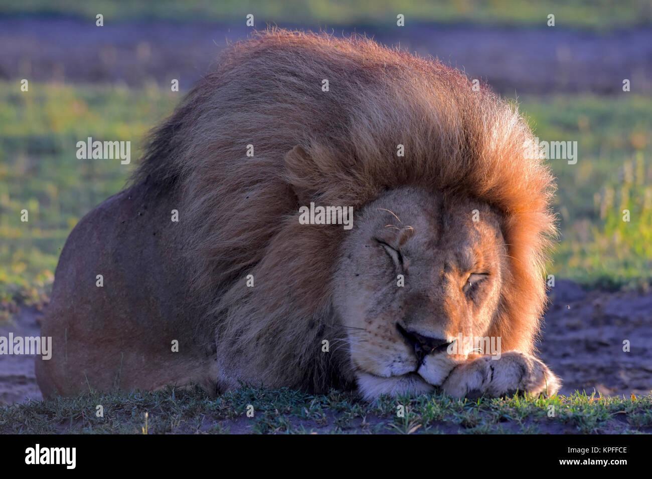 Wildlife Sightseeing in einer der Tierwelt Reiseziele auf earht - Serengeti, Tansania. Schlafen stattliche männliche Stockbild