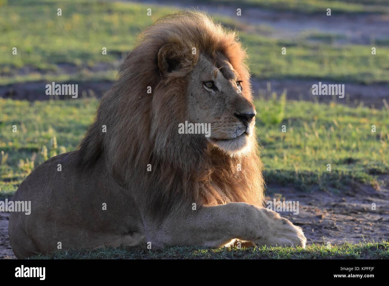 Wildlife Sightseeing in einer der Tierwelt Reiseziele auf earht - Serengeti, Tansania. Stattliche männliche Stockbild