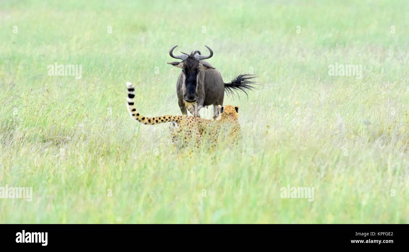 Wildlife Sightseeing in einer der Tierwelt Reiseziele auf earht - Serengeti, Tansania. Männliche Geparden und Stockbild