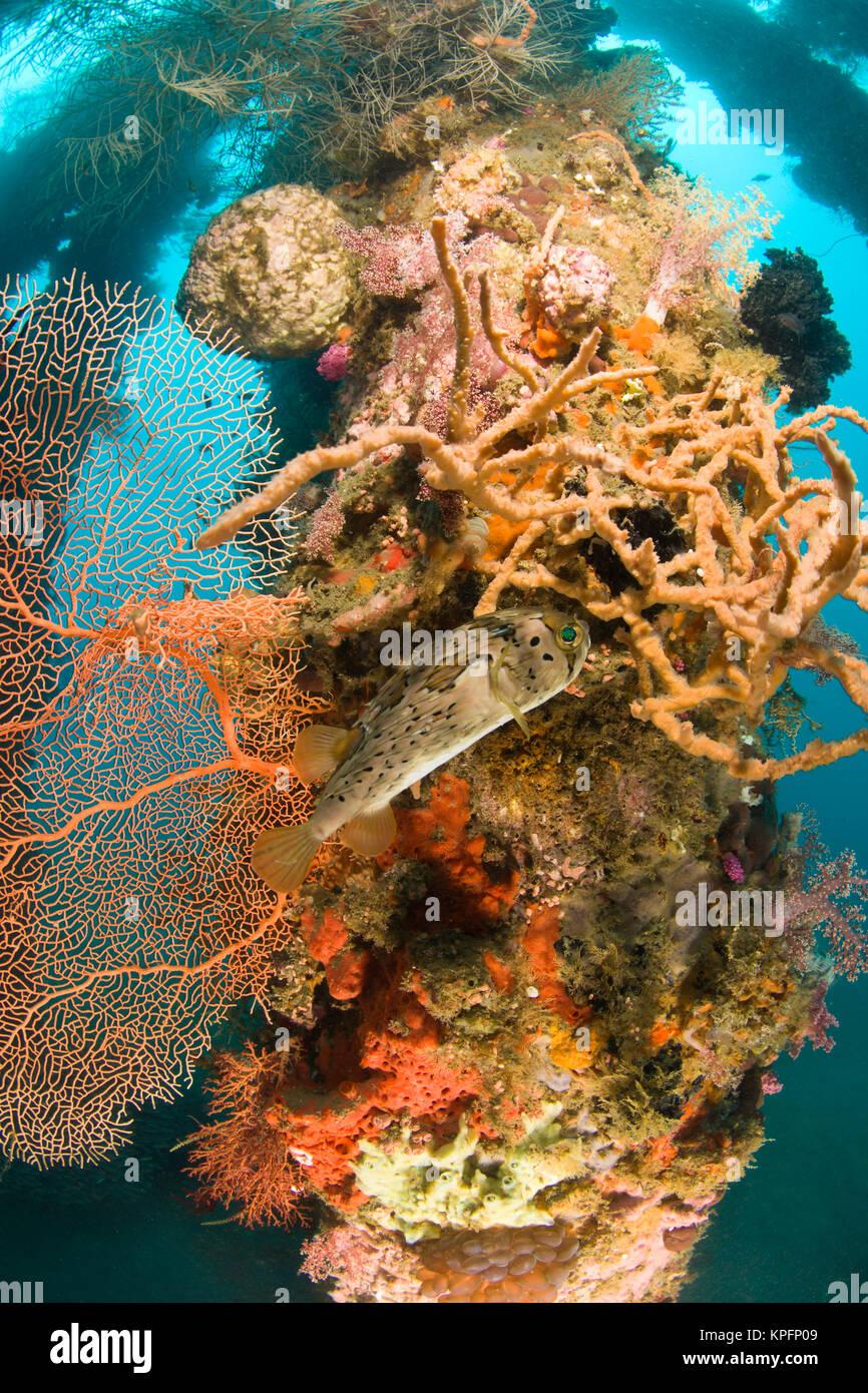 Kugelfisch unter Schwämme und Korallen Wachstum, Dumaguete Pier, Hauptstadt von Negro Oriental Island, Philippinen, Stockbild
