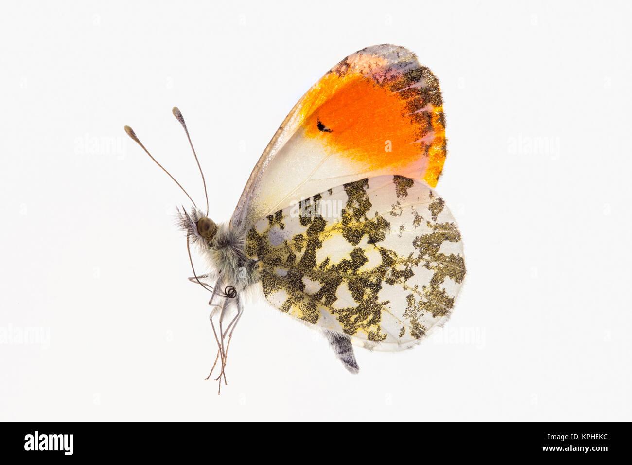 Männliche Orange Tip Butterfly~ Tot Muster auf einer Hintergrundbeleuchtung mit weißem Hintergrund Stockbild