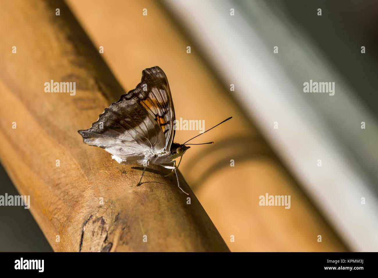 Braune und weiße Schmetterling auf Handlauf aus Holz Stockfoto, Bild ...