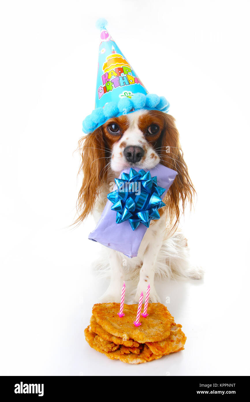 happy birthday hund foto cavalier king charles spaniel welpe hund feiern 3 geburtstag drei. Black Bedroom Furniture Sets. Home Design Ideas
