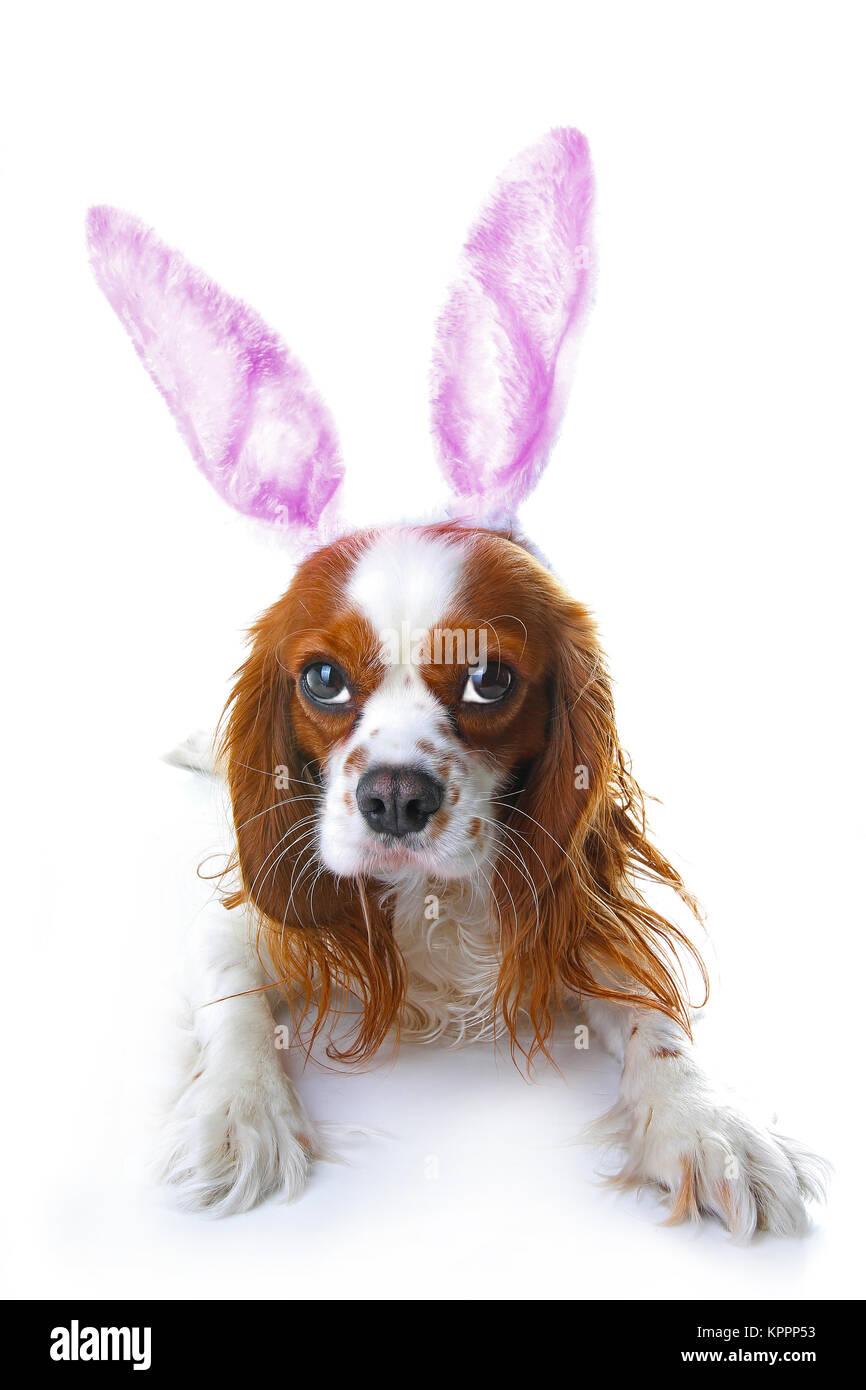 Süße Osterhasen Hund Mit Hasenohren Frohe Ostern Urlaub Cavalier