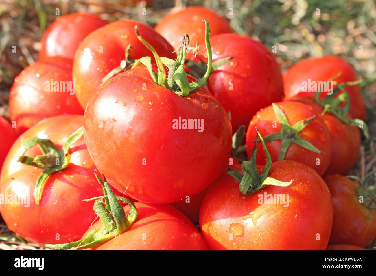 Reiche Ausbeute an roten Tomaten Stockbild