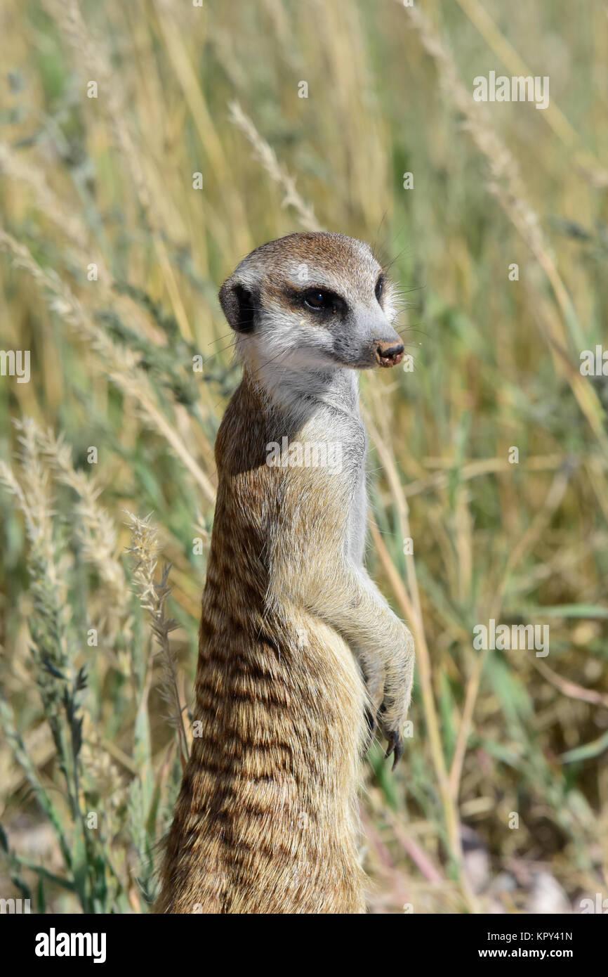 Der Kgalagadi Transfrontier Park zwischen Südafrika und Botswana ist prime Wüste Land für die Anzeige Stockbild